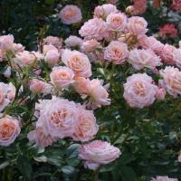 Роза миниатюрная Пич Клементина