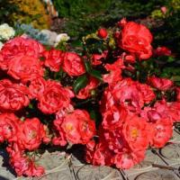 Роза миниатюрная Корал Дрифт