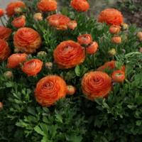 Ранункулюс гиганский Оранж 10 шт