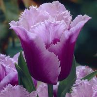 Тюльпан  бахромчатый  Блу Нерон 5 шт.
