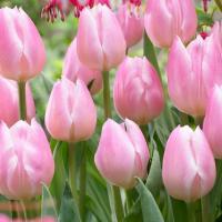 Тюльпан простой поздний Реноун 5 шт