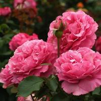 Роза Ив Пиаж