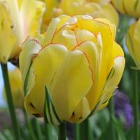 Тюльпан махровый поздний Акебоно  6 шт