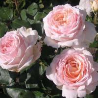 Роза Андре лё Нотр