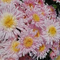 Хризантема корейская  Розовый шик