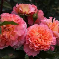 Роза Аугуста Луиза