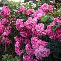 Роза Пальменгартен франкфурт