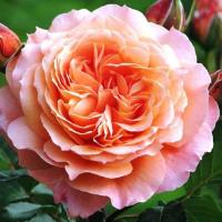 Роза Бельведер