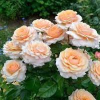 Роза Сью Хипкин