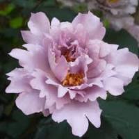 Роза японская Тилия