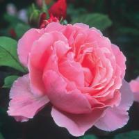 Роза Бразе Кэндвайл