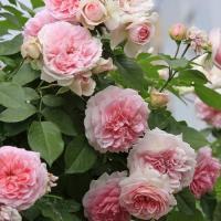 Роза Курфурстен Софи