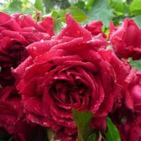 Роза Ля Роз де Кятр Ван