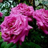 Роза Шартрез де Парме