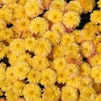 Хризантема мультифлора Браниндио
