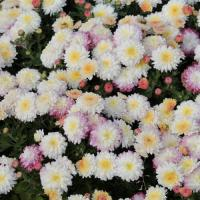 Хризантема мультифлора Ивона