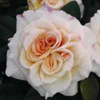 Роза Комтесса