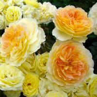 Роза Голден Бордер