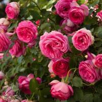 Роза Цикломен Пьер де Ронсар