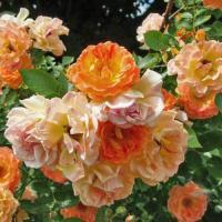 Роза миниатюрная  Бесси