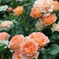 Роза Шато де Вамаркус