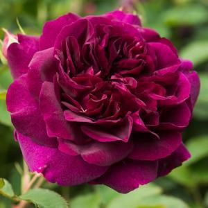 Роза Дарси Бассел