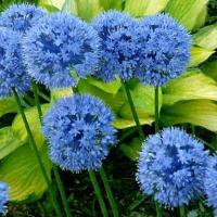 Лук декоративный Голубой 10 шт