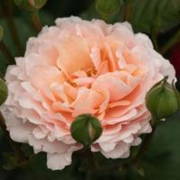 Роза Твиггиc роуз