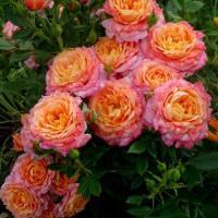 Роза Бриоза