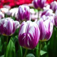 Тюльпан Фламинг Флаг 5  шт
