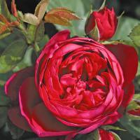 Роза Эскот