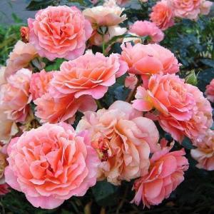 Роза миниатюрная Бордюр Абрико