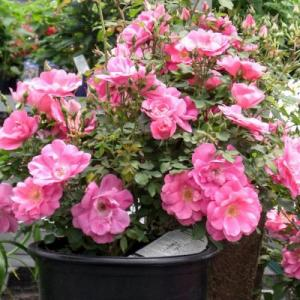 Роза  миниатюрная Фронтенак