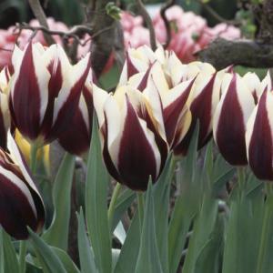 Тюльпан простой ранний Гавота 5  шт