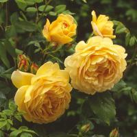 Роза английская Голден Селебрейшн