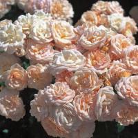 Роза миниатюрная Бордюр Накри