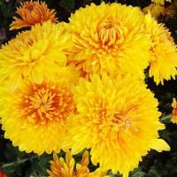Хризантема корейская  Опал