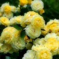 Роза Контесс Дюбарри