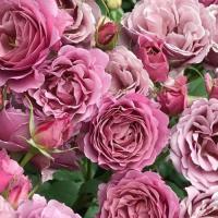 Роза японская Аои
