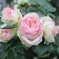 Роза миниатюрная Бидермайер