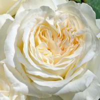 Роза Ирина
