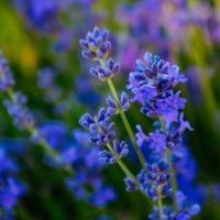 Лаванда  (цветки)  Употребляют для лечебных ванн, снятия головной боли, ароматизации и очищении воздуха в помещениях.