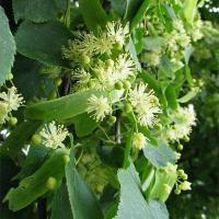 Липа сердцевидная (цветки) При простудных заболеваниях, головной боли. Это прекрасное безвредное жаропонижающее и потогонное средство.