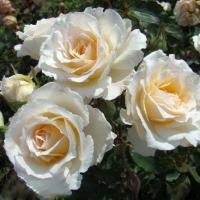 Роза Пустиния