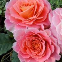 Роза Мами Дитьер