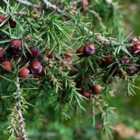 Можжевельник колючий-красный (плоды) Способствуюет выведению мочевой кислоты, применяется при артритах, подагре.