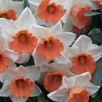 Нарцисс  крупнокорончатый Хромоколор 5 шт