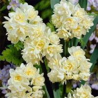 Нарцисс многоцветковый Эрличир 5 шт