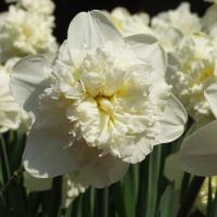 Нарцисс махровый Уайт Лион 5 шт