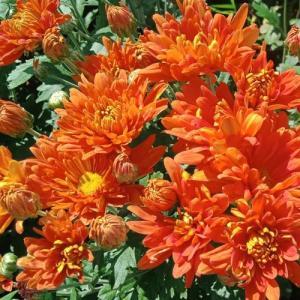 Хризантема корейская Огниво
